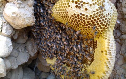برداشت عسل وحشی